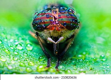 Close up view of the eyes a Tabanus abdominalis horsefly with ra