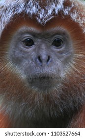 close up view of face golden lutung