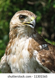 Close up view of a falcon looking right at the camera while perched
