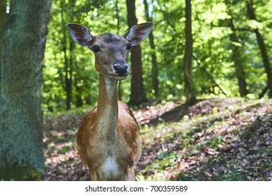 Close view of Fallow deer doe in a forest in summer time