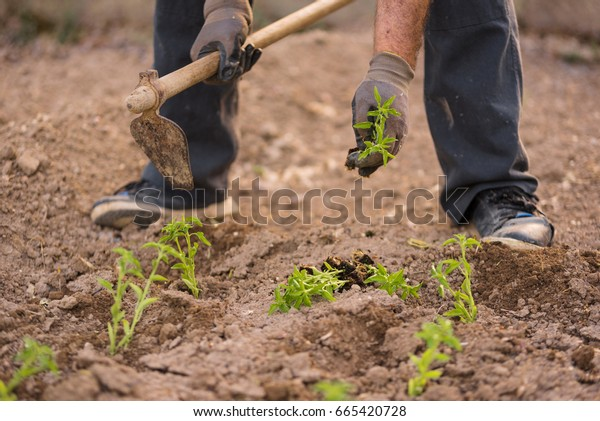 Close up view of a farmer at work.
