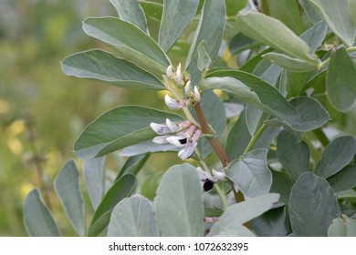 Close up view of fava beans flower plant.
