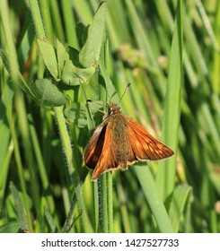 A close up view of a female Large Skipper Butterfly. Scientific name Ochlodes sylvanus. It is resting and basking on some grass stems in a meadow.