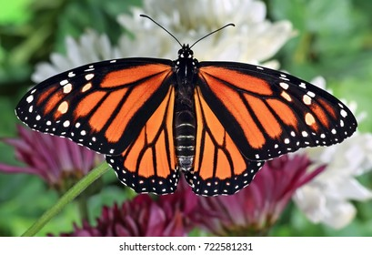 A close- up view of a female Monarch butterfly at garden chrysanthemums.