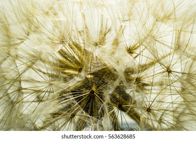 Close up view of field dandelion fibers