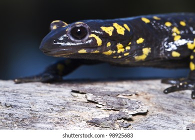 Close up view of a fire salamander in the nature.