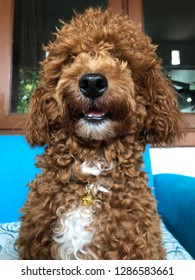 A close up view of funny face red toy poodle, his name is Jaxx