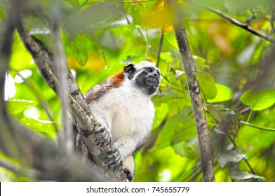 Close up view of Geoffroy's Tamarin (Saguinus geoffroyi), also known as the Panamanian, Red-crested or Rufous-naped tamarin