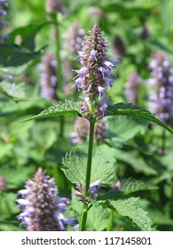 close view of giant hyssop used as spice and salubrious herb