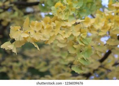 Close up view of Ginkgo biloba branches with golden leaves, also known as the maidenhair tree. Autumn foliage with a deep saffron yellow. Leaves resembling some of the pinnae of the maidenhair fern.