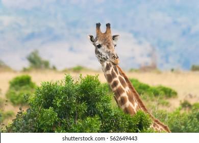 Close view of giraffe at Masai Mara National Reserve, Kenya
