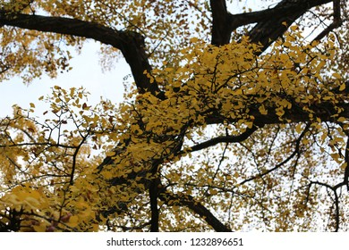 Close up view of golden leaves of Ginkgo biloba, also known as the maidenhair tree, Pattern of branches in a park during the autumn season. Astract yellow foliage.
