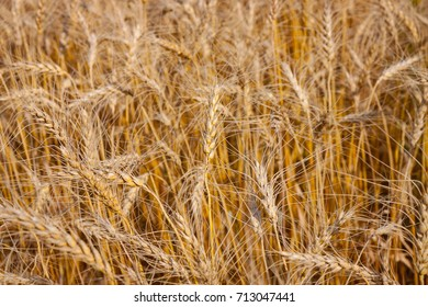 Close View of Golden Wheat Field