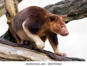 Close up view of a Goodfellow's tree-kangaroo (Dendrolagus goodfellowi)