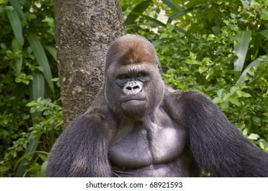 Close up view of a gorilla in the wild.