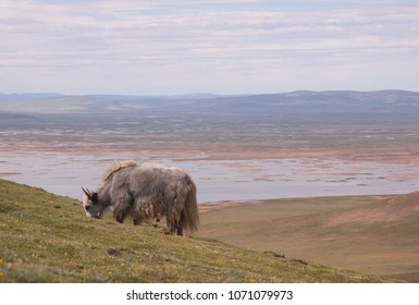 Close up view of grazing yak and clouds over colorful lake background with mountains in skyline.  Tibetan highlands, Qinghai province, China. Source of Huang He river. Yellow river source area.