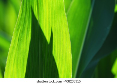 close view of green corn leaves