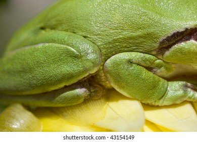 Close view of a green european tree frog legs.