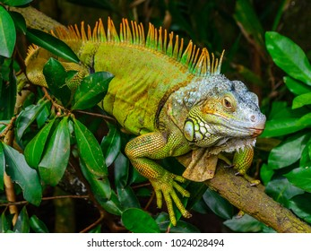 Close up view of Green Iguana (also known as Common or American iguana) on branch in the forest background