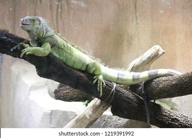 Close up view of a green iguana, also called iguana iguana, staid on a brown branch in a zoo with a blur background. Herbivorous and diurnal animal. Natural image of a tropical lizard.