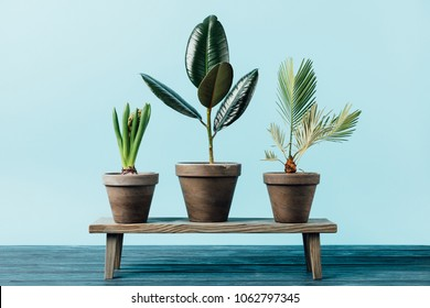 close up view of green plants in flowerpots on wooden decorative bench isolated on blue