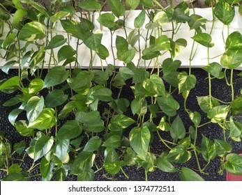 Close up view of Green yellow Hanging plants leaves propagate vine surface on  wall. Obscure morning glory (Ipomoea obscura). Use as nature background wallpaper. Heart shaped leaf devil's ivy herbal