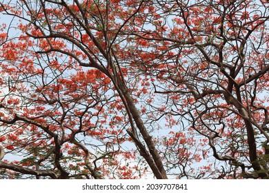 Close view of a gulmohar  flowering tree