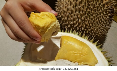 Close up view of hand holding the yellow durian fruit - Durio zibethinus. Also known as king of fruits, durian is distinctive for its large size, strong odour, and thorn-covered rind.