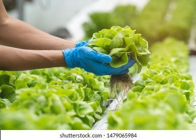 Nahaufnahme der Hände von Landwirten, die Salat im hydroponischen Gewächshaus pflücken.