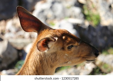 Close up view of a the head of a female lowland nyala or simply nyala, Tragelaphus angasii, a spiral-horned antelope native to southern Africa. Rusty and rufous brown coat. Dorsal crest of hair.