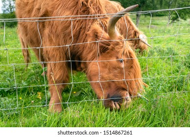 Close view of a highland cow grazing in a fenced grassy field in summer