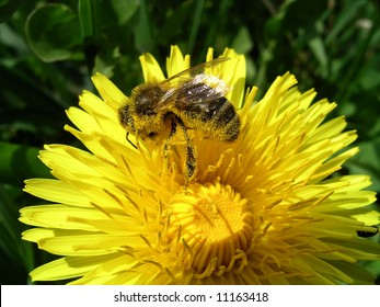 Close view of a honey bee on a dandelion