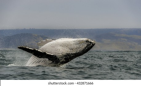 Close up view of a humpback whale breaching off the east coast of South Africa during the winter migration north to warmer waters