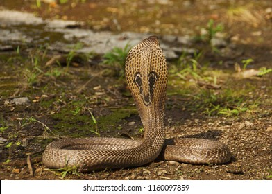 Close view of Indian cobra, Naja naja, also known as the Spectacled cobra, Asian cobra or Binocellate cobra, India