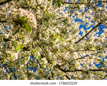 Close up view into the crown of blooming wild cherries