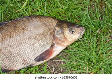 Close up view of just taken from the water freshwater common bream known as bronze bream or carp bream (Abramis brama) on fishing net. Natural composition of fish and fishing net on green grass.