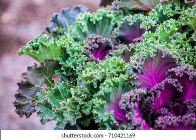 Close up view of kale cabbage leaves. Vegetables healthy food background