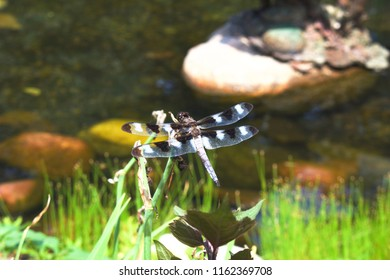 Close up view of a large dragonfly sitting on some vegetation over a garden pond