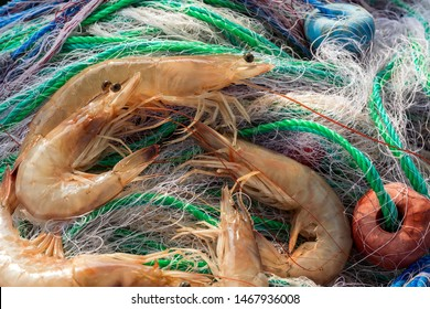 Close up view of the large jumbo shrimp on the fishing net. Commercial techniques for catching wild shrimp include otter trawls, seines and shrimp baiting. A system of nets is used when trawling.