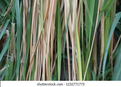Close up view of leaves of Beaucarnea recurvata tree, also names elephant's foot and ponytail palm, from the family Asparagaceae. Strap-shaped, recurved leathery leaves, hair lock-shaped in the ends.