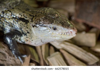 Close up view of a Lizard.
