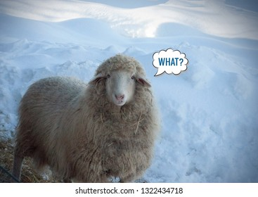 Close up view of a looking sheep in winter day. Looking cool sheep. 'What?' message meme