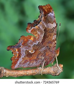 Close- up view of a male Eastern Comma butterfly (Polygonia c- album).