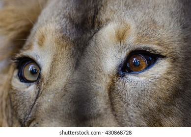 Close view of a male Lion Eyes
