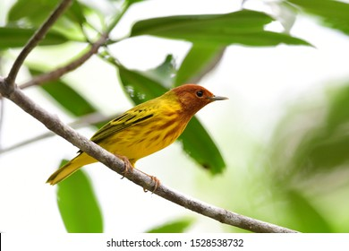 Close up view of a Mangroove Warbler or Yellow Warbler (Setophaga petechia) male perched on a branch
