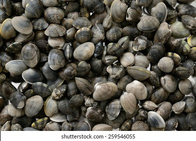 close up view of manila clam