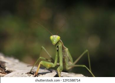 close view of mantis