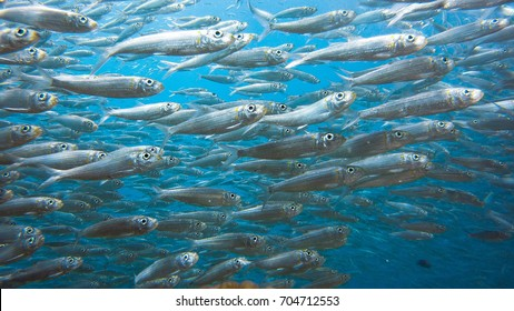 Close up view of a massive school of sardines in a shallow reef. Sardine shoal or sardine run in Moalboal is a famous tourist destination in the southern town of Cebu, Philippines.