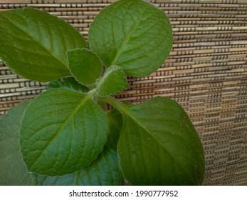 Close up view of mexicant mint or cuban oregano in wood background. Selective focus.