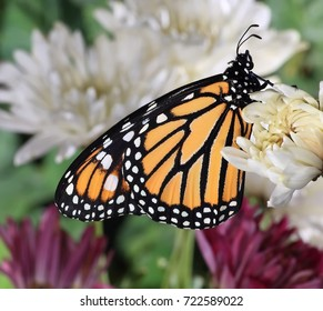 Close- up view of a  Monarch butterfly at garden chrysanthemums.